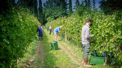 hand harvesting at tomasella